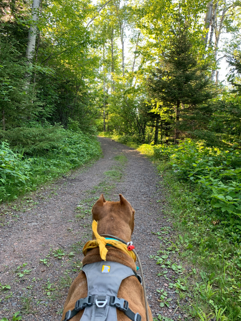 Brown dog on a leash, a hiking trail for pets in the woods at Split Rock Lighthouse State Park in Minnesota