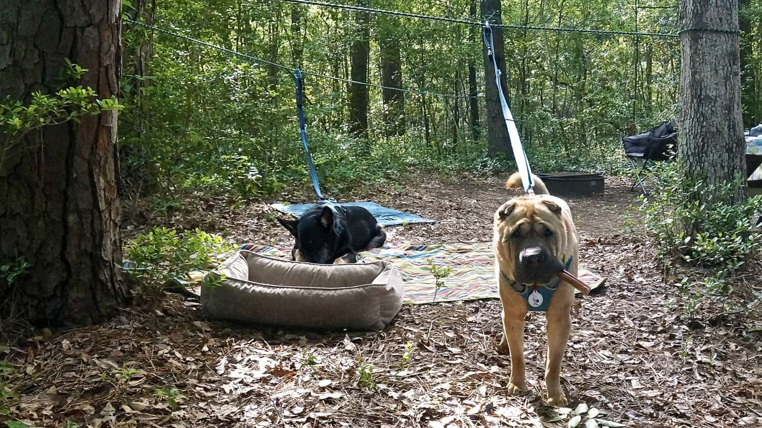 Ty the Shar-pei and Buster the German Shepherd from GoPetFriendly.com relax on their camping line